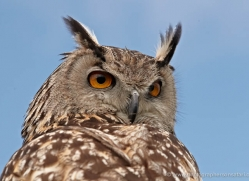 european-eagle-owl-4114-northumberland-copyright-photographers-on-safari-com