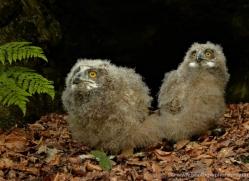 european-eagle-owl-chick-4116-northumberland-copyright-photographers-on-safari-com