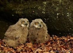 european-eagle-owl-chick-4117-northumberland-copyright-photographers-on-safari-com