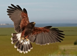 harris-hawk-4185-northumberland-copyright-photographers-on-safari-com