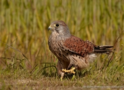 kestrel-4191-northumberland-copyright-photographers-on-safari-com