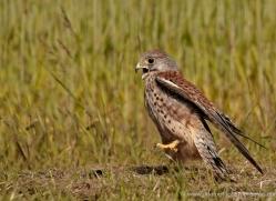 kestrel-4192-northumberland-copyright-photographers-on-safari-com