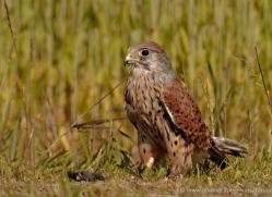 kestrel-4193-northumberland-copyright-photographers-on-safari-com