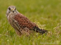 kestrel-4194-northumberland-copyright-photographers-on-safari-com