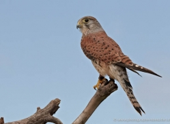 kestrel-4195-northumberland-copyright-photographers-on-safari-com