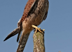kestrel-4196-northumberland-copyright-photographers-on-safari-com