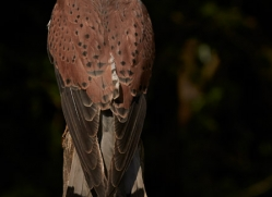 kestrel-copyright-photographers-on-safari-com-8525