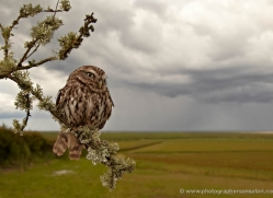 little-owl-4172-northumberland-copyright-photographers-on-safari-com