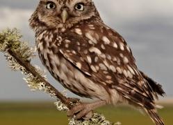 little-owl-4173-northumberland-copyright-photographers-on-safari-com