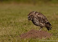 little-owl-4174-northumberland-copyright-photographers-on-safari-com