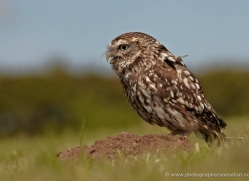 little-owl-4175-northumberland-copyright-photographers-on-safari-com