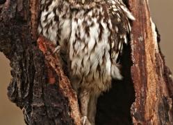 little-owl-4176-northumberland-copyright-photographers-on-safari-com