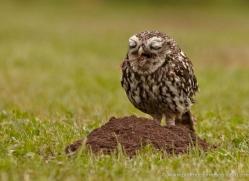 little-owl-4177-northumberland-copyright-photographers-on-safari-com