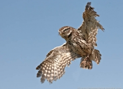 little-owl-4179-northumberland-copyright-photographers-on-safari-com