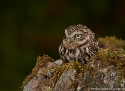 little-owl-copyright-photographers-on-safari-com-8529