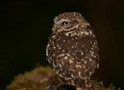 little-owl-copyright-photographers-on-safari-com-8530