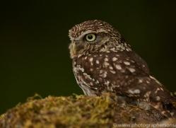 little-owl-copyright-photographers-on-safari-com-8531