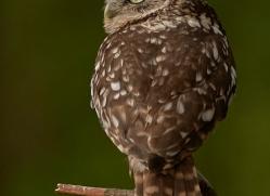 little-owl-copyright-photographers-on-safari-com-8534