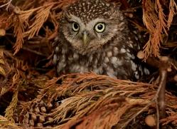 little-owl-copyright-photographers-on-safari-com-8535