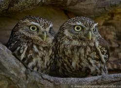 little-owl-copyright-photographers-on-safari-com-8536