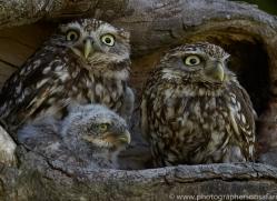 little-owl-copyright-photographers-on-safari-com-8538
