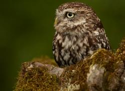 little-owl-copyright-photographers-on-safari-com-8540