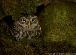 little-owl-copyright-photographers-on-safari-com-8542