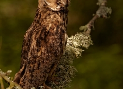long-eared-owl-4132-northumberland-copyright-photographers-on-safari-com