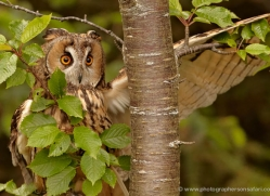 long-eared-owl-4133-northumberland-copyright-photographers-on-safari-com
