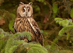 long-eared-owl-4134-northumberland-copyright-photographers-on-safari-com