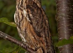 long-eared-owl-4135-northumberland-copyright-photographers-on-safari-com