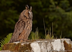long-eared-owl-4136-northumberland-copyright-photographers-on-safari-com