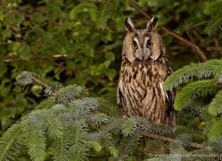 long-eared-owl-4137-northumberland-copyright-photographers-on-safari-com