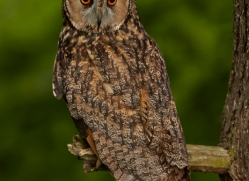 long-eared-owl-copyright-photographers-on-safari-com-8543