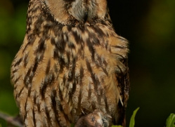 long-eared-owl-copyright-photographers-on-safari-com-8544