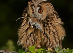 long-eared-owl-copyright-photographers-on-safari-com-8545