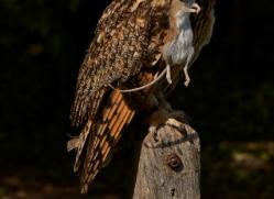 long-eared-owl-copyright-photographers-on-safari-com-8546