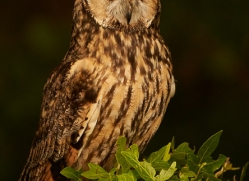 long-eared-owl-copyright-photographers-on-safari-com-8547