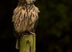 long-eared-owl-copyright-photographers-on-safari-com-8549