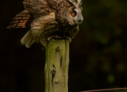 long-eared-owl-copyright-photographers-on-safari-com-8550