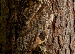 long-eared-owl-copyright-photographers-on-safari-com-8551