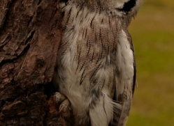 scops-owl-4180-northumberland-copyright-photographers-on-safari-com