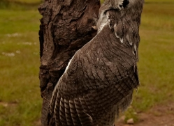 scops-owl-4181-northumberland-copyright-photographers-on-safari-com