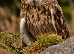 short-eared-owl-copyright-photographers-on-safari-com-8553