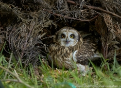 short-eared-owl-copyright-photographers-on-safari-com-8556