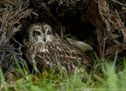 short-eared-owl-copyright-photographers-on-safari-com-8557