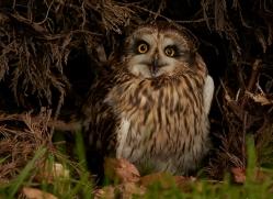 short-eared-owl-copyright-photographers-on-safari-com-8558
