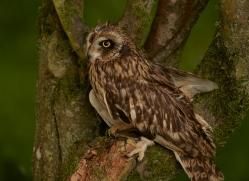 short-eared-owl-copyright-photographers-on-safari-com-8559