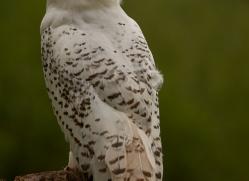 snowy-owl-copyright-photographers-on-safari-com-8561