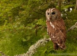 tawny-owl-4164-northumberland-copyright-photographers-on-safari-com